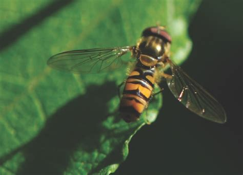 Why does the buzz of a fly and a wasp differ? – How It Works