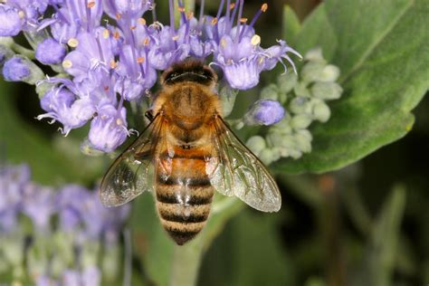 Bee scholar: too soon to say Colony Collapse Disorder