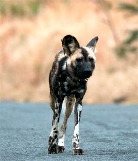 African Wild Dogs - Hluhluwe Game Reserve