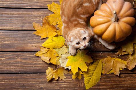How To Cook A Thanksgiving Meal That Your Cat Can Enjoy