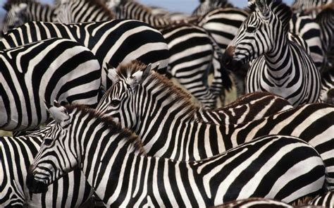Can you find the sneaky animal hiding among all these zebras?