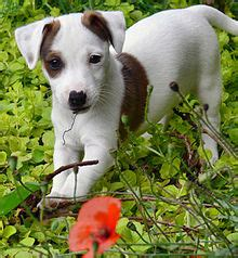 Jack Russell terrier — Wikipédia