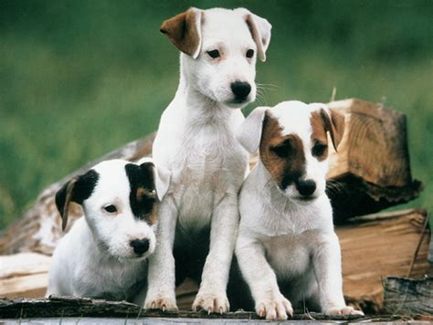 Chiens de chasse - Chassons