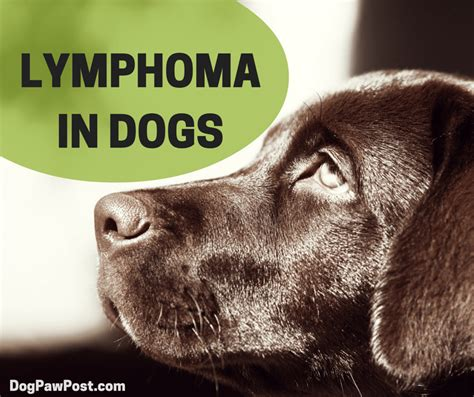 How To Spot Canine Lymphoma Cancer - Dog Paw Post